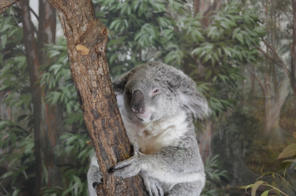 The most cuddly Koala ever! I want one!